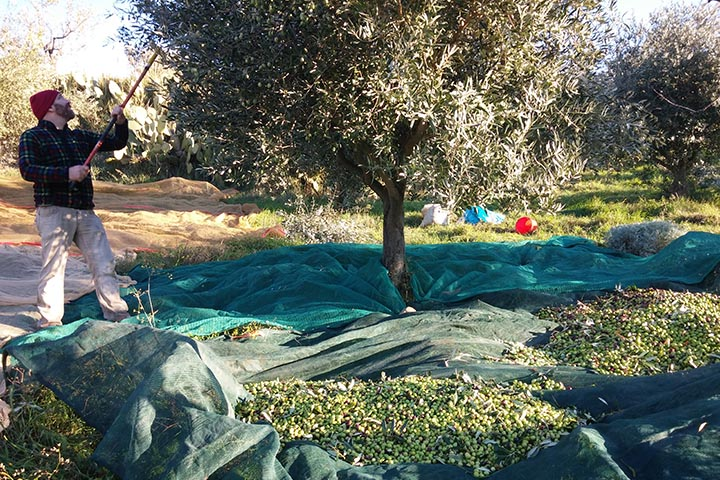 Chef Lino Sauro harvesting olives